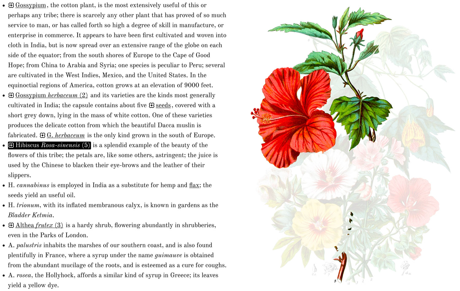 Highlighted hibiscus in description and illustration