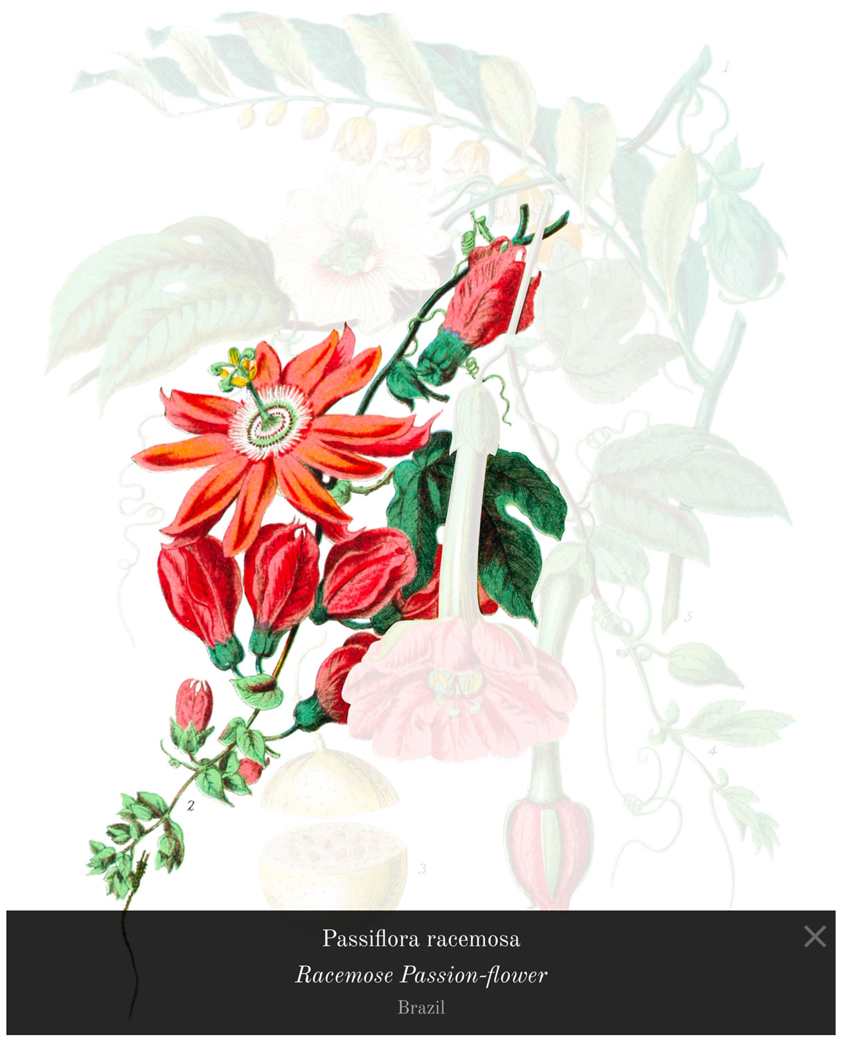Passiflora racemosa from the passion-flower tribe highlighted with popup caption