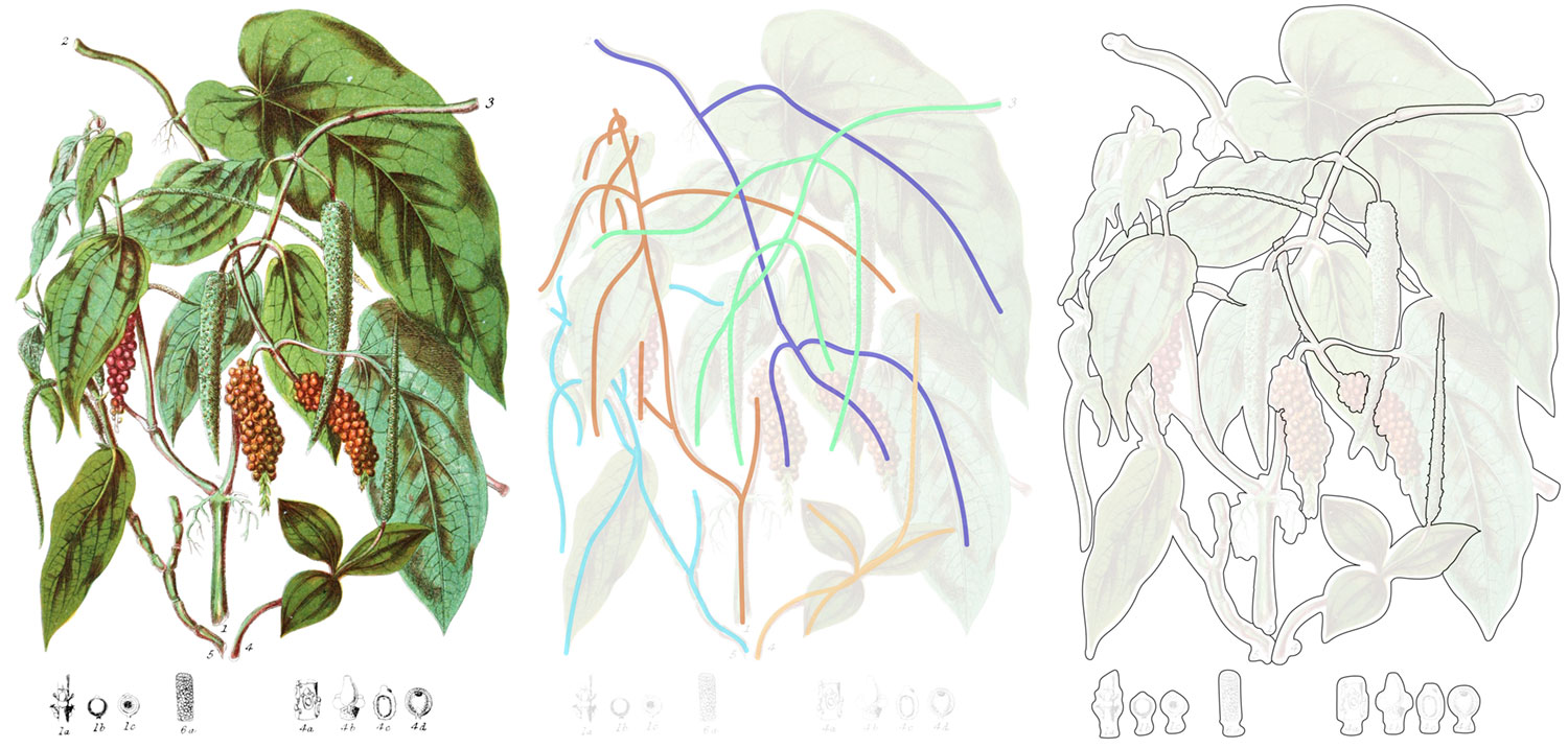 Pepper tribe before outlining, with references lines, and after outlining