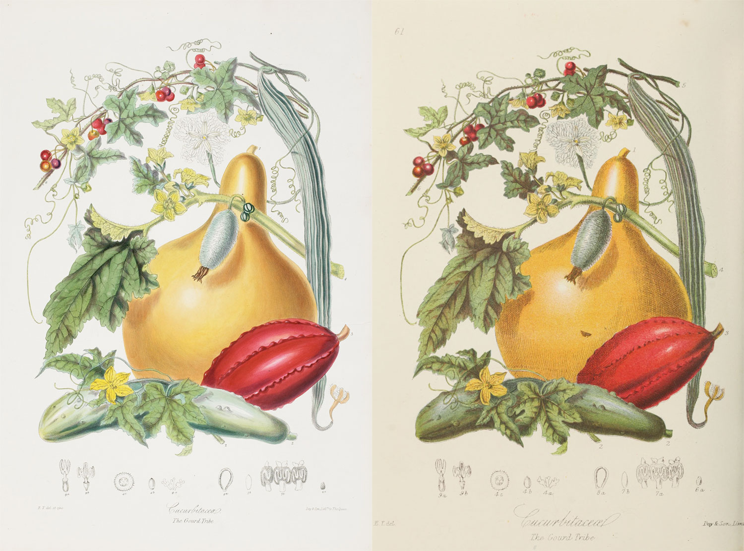 Side-by-side comparison of the original lithograph (left) and reproduction (right) of the gourd tribe
