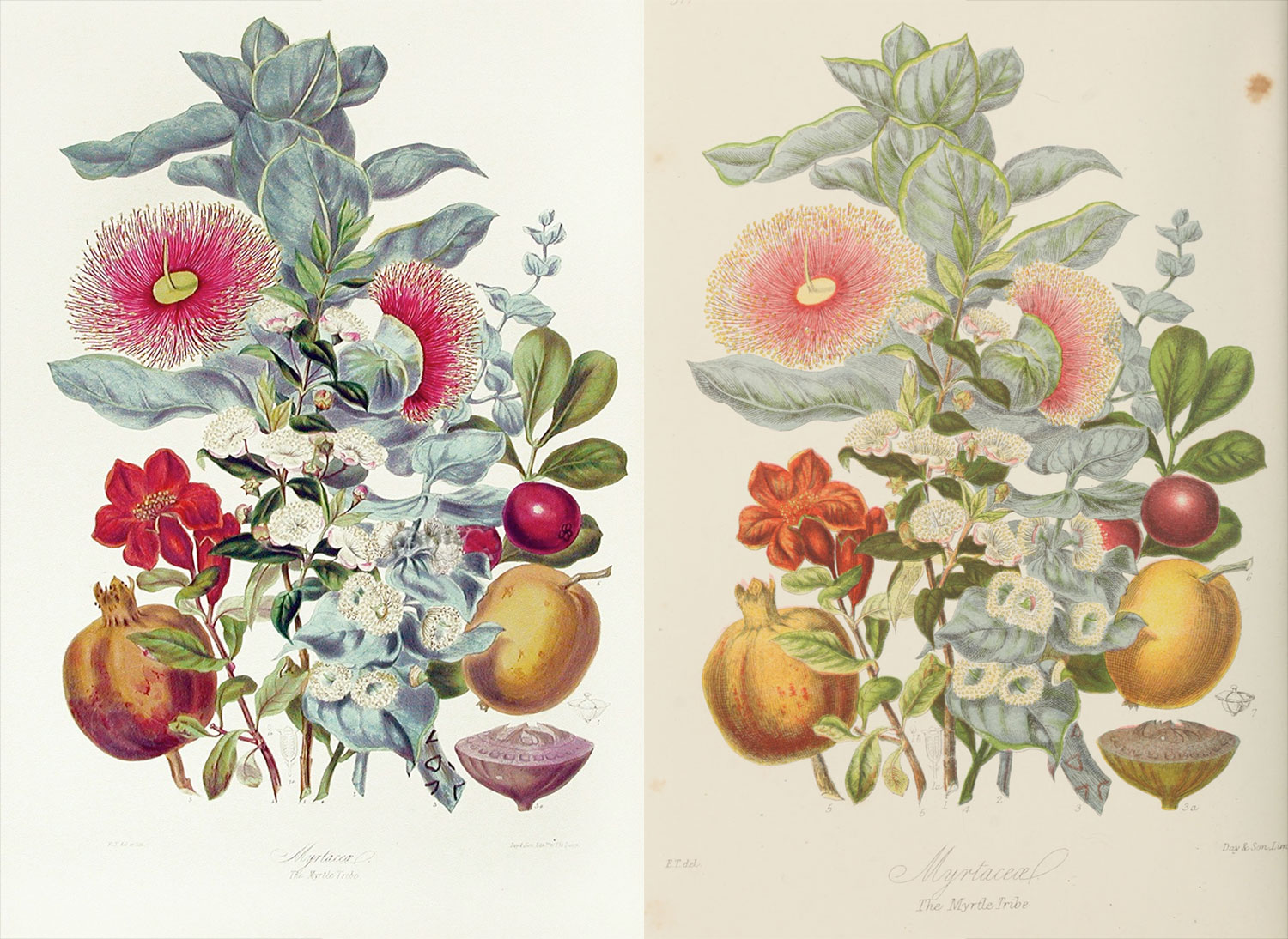 Side-by-side comparison of the original lithograph (left) and reproduction (right) of the myrtle tribe