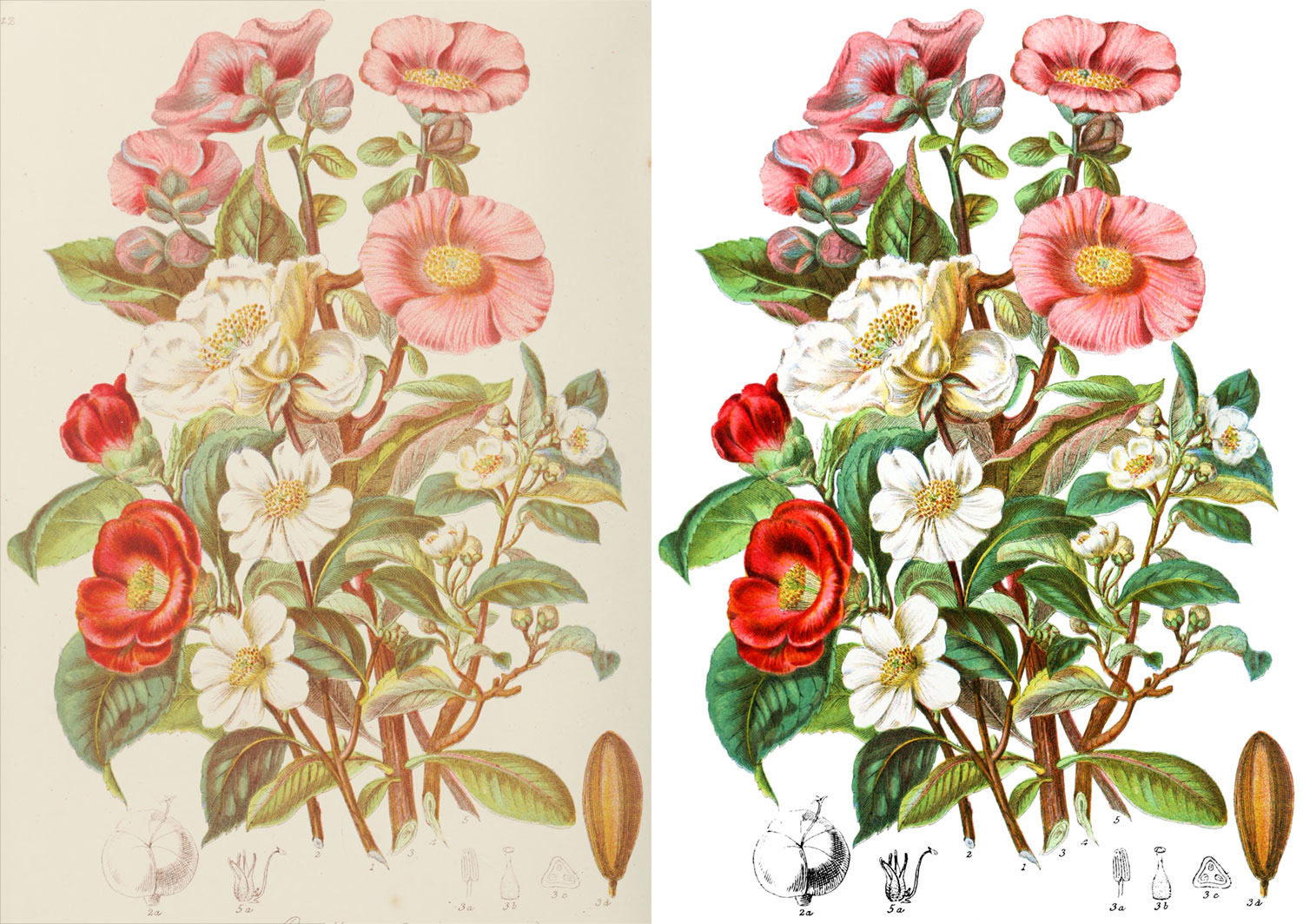Camellia tribe before and after restoration