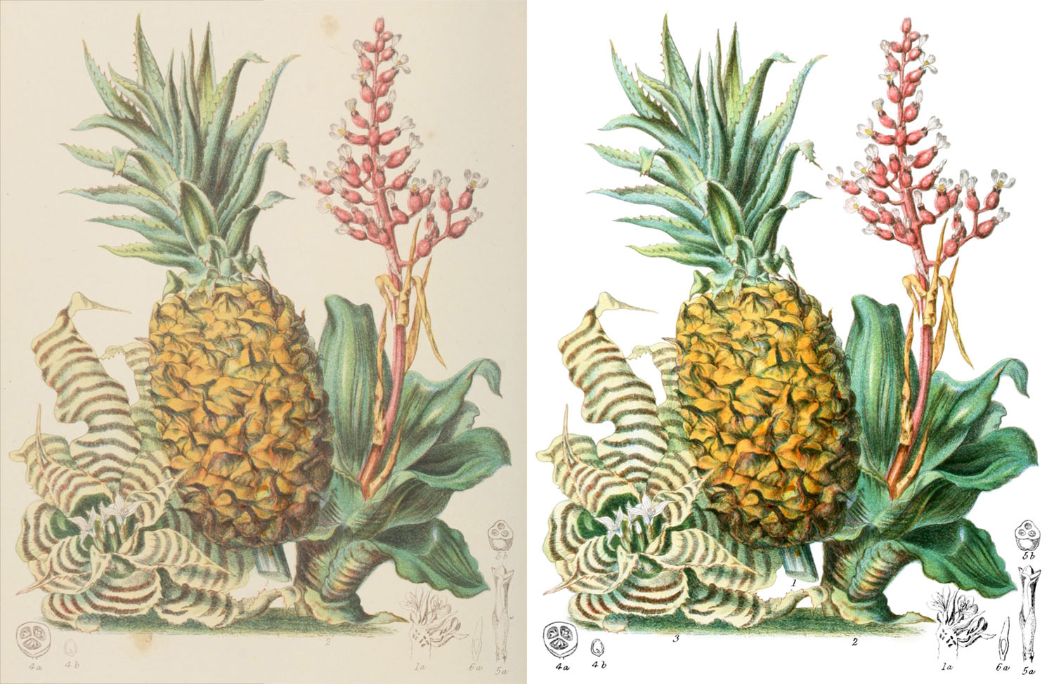 Pine-apple tribe before and after restoration
