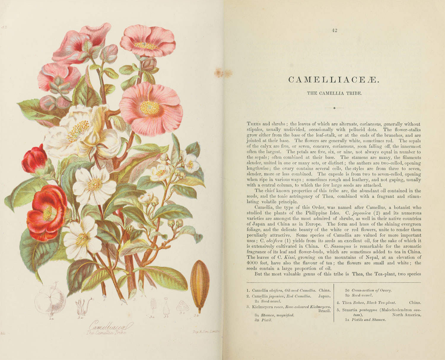 Page spread of scans of the original illustration (left) and first page of description (right) of the camellia tribe
